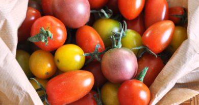 cultivar tomates de invierno