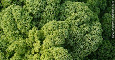 cultivo kale huerto