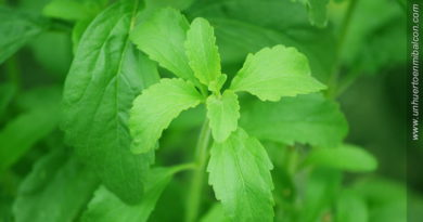 plantar stevia
